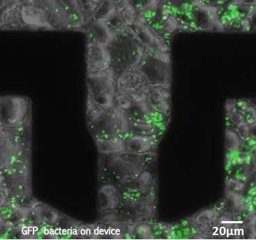 gfp-bacteria-on-device-copie